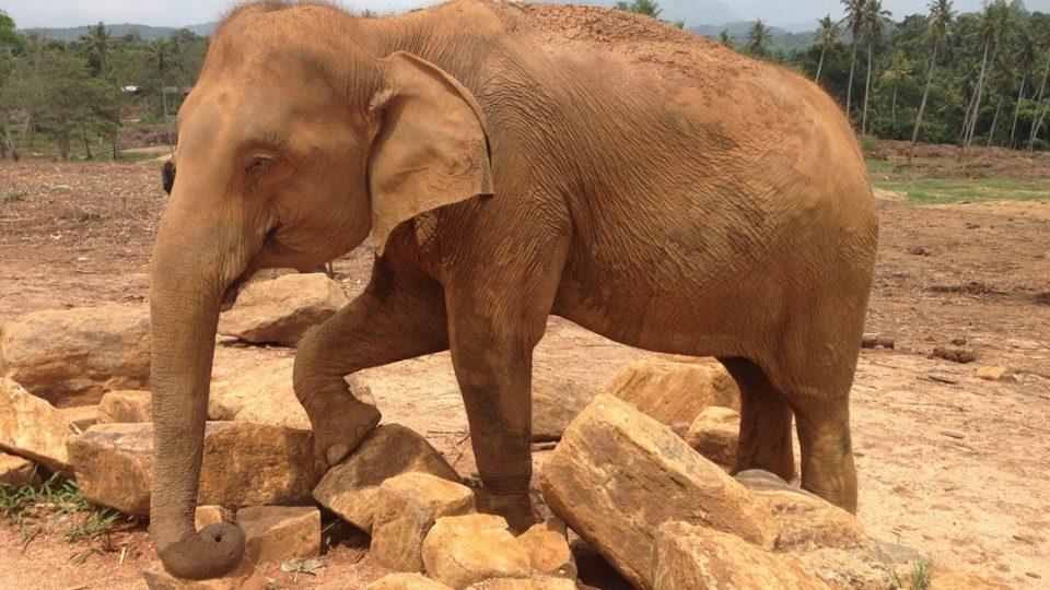 Srí Lanka: Pinnawela Elephant Orphanage