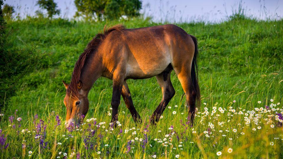 """""""Po pěti letech pasení divokých koní už jsou vidět velké kvetoucí plochy kopretin a šalvějí. Pastva obrovským zpsůobem pomohla i nejvzácnější místní rostlině – hořci křížatému."""""""