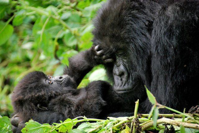 """""""Jedním z našich velkých projektů je studium nemocí velkých primátů v Africe, studujeme například infekční onemocnění horských goril ve Rwandě. Je jich posledních 800."""""""
