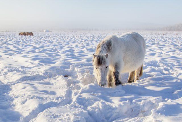 Odolní koně nedaleko vesnice Ojmjakon, nejchladnějšího trvale osídleného místa na Zemi