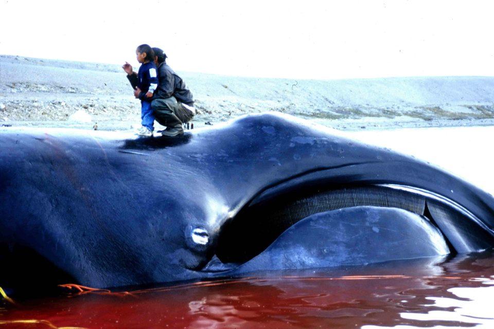 Velryba grónská ulovená eskymáky v roce 2002