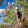 Kozy lezoucí po stromech v Maroku